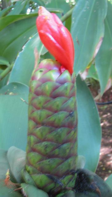 Costus sp. at NTBG