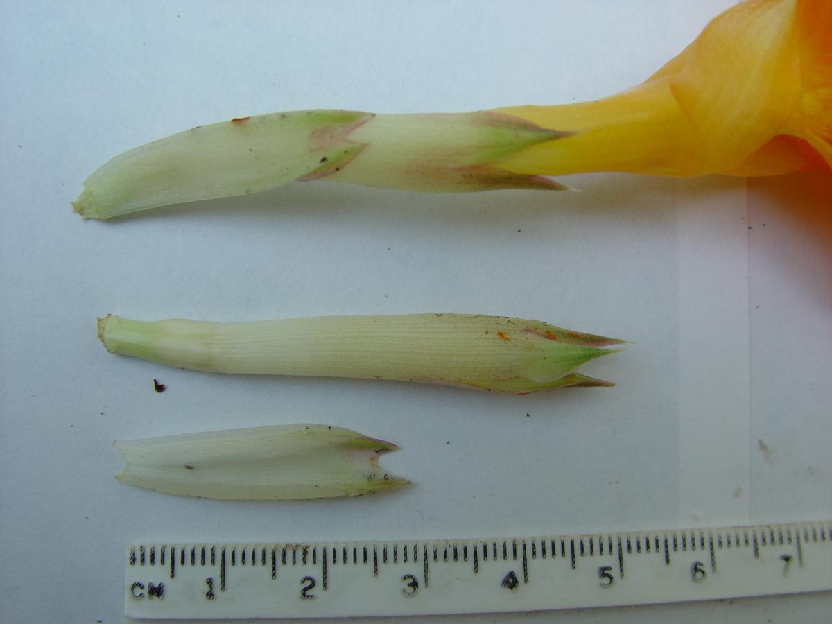 Photo# 13162 - Chamaecostus cuspidatus bracteole and calyx