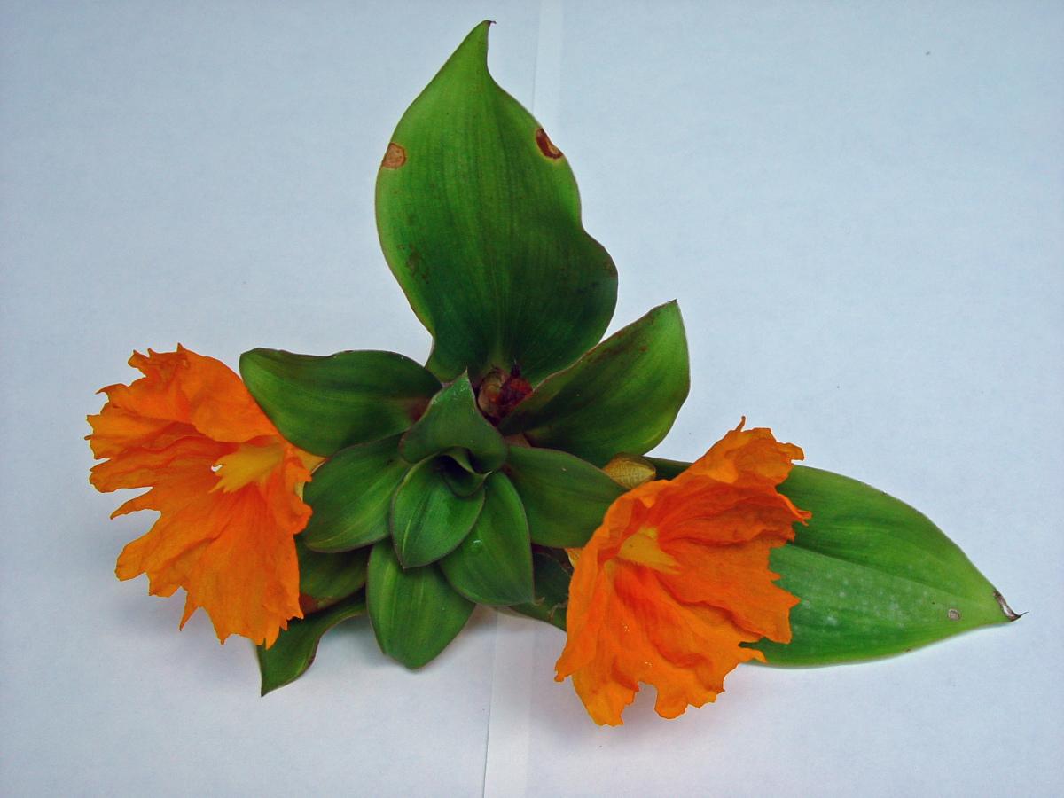 Photo# 13097 - Chamaecostus cuspidatus cultivated plant