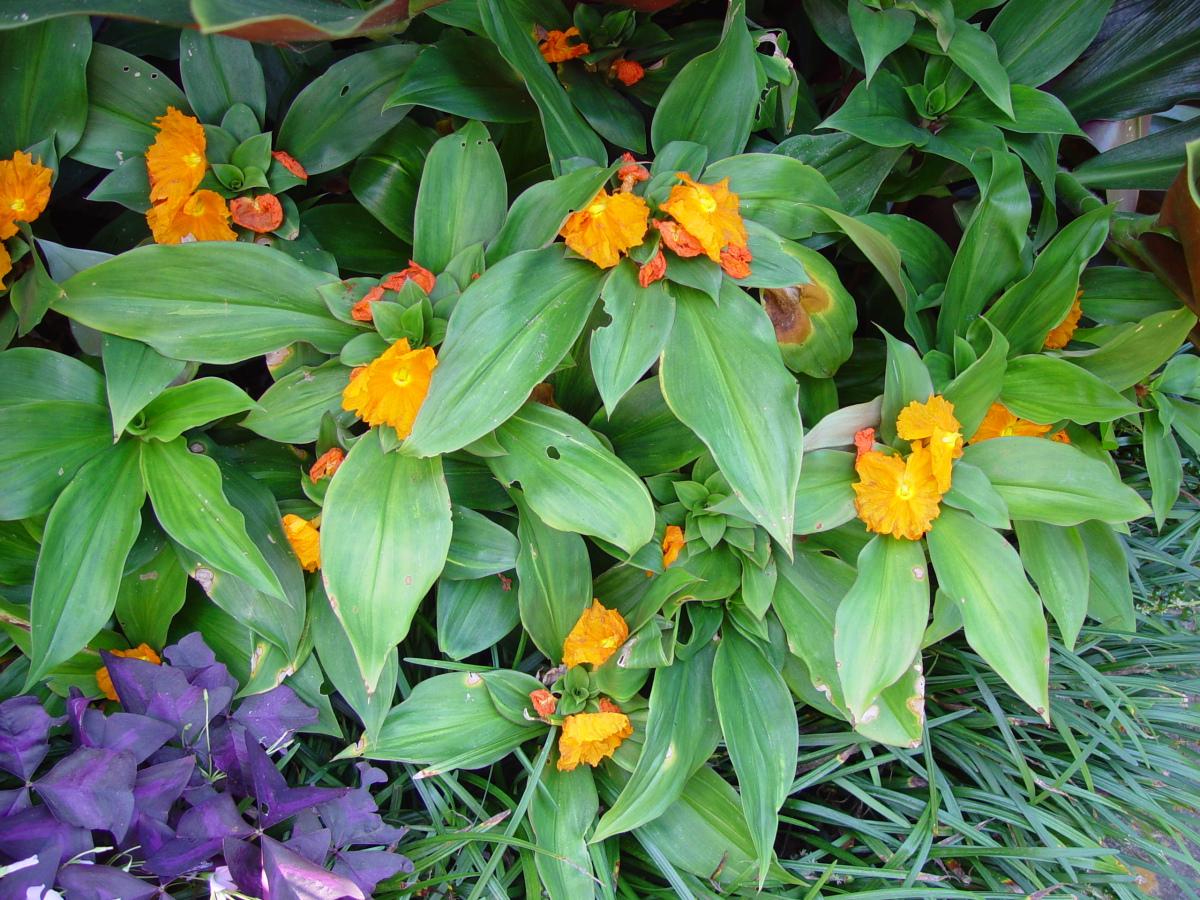 Photo# 13099 - Chamaecostus cuspidatus cultivated plant