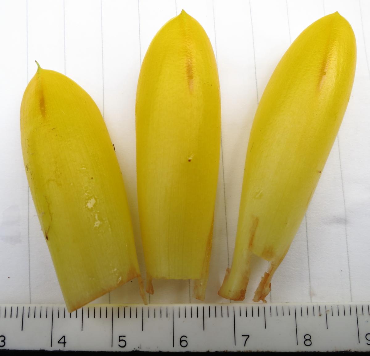Photo# 13182 - Chamaecostus fusiformis bracts