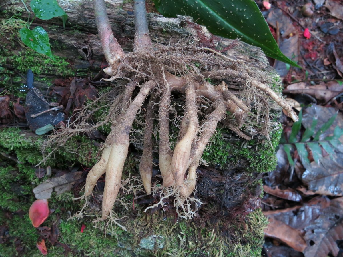 Photo# 13188 - Chamaecostus lanceolatus subsp lanceolatus - this shows the rhizome and thickened root system for survival during the dry season.