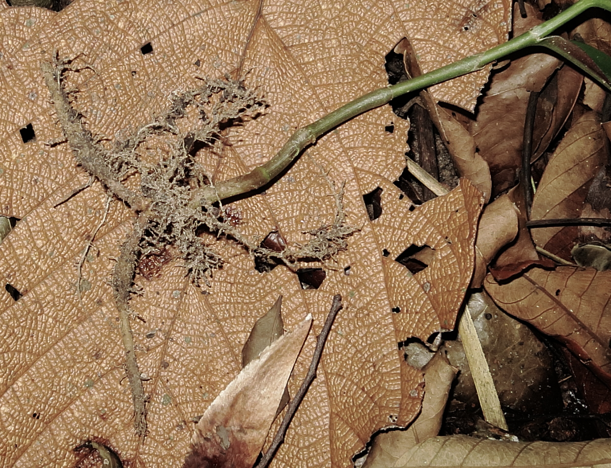 Photo# 13195 - Chamaecostus lanceolatus subsp lanceolatus root system in young plant