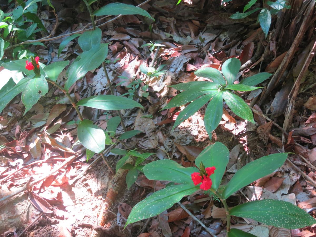 Photo# 13113 - Chamaecostus lanceolatus subsp lanceolatus