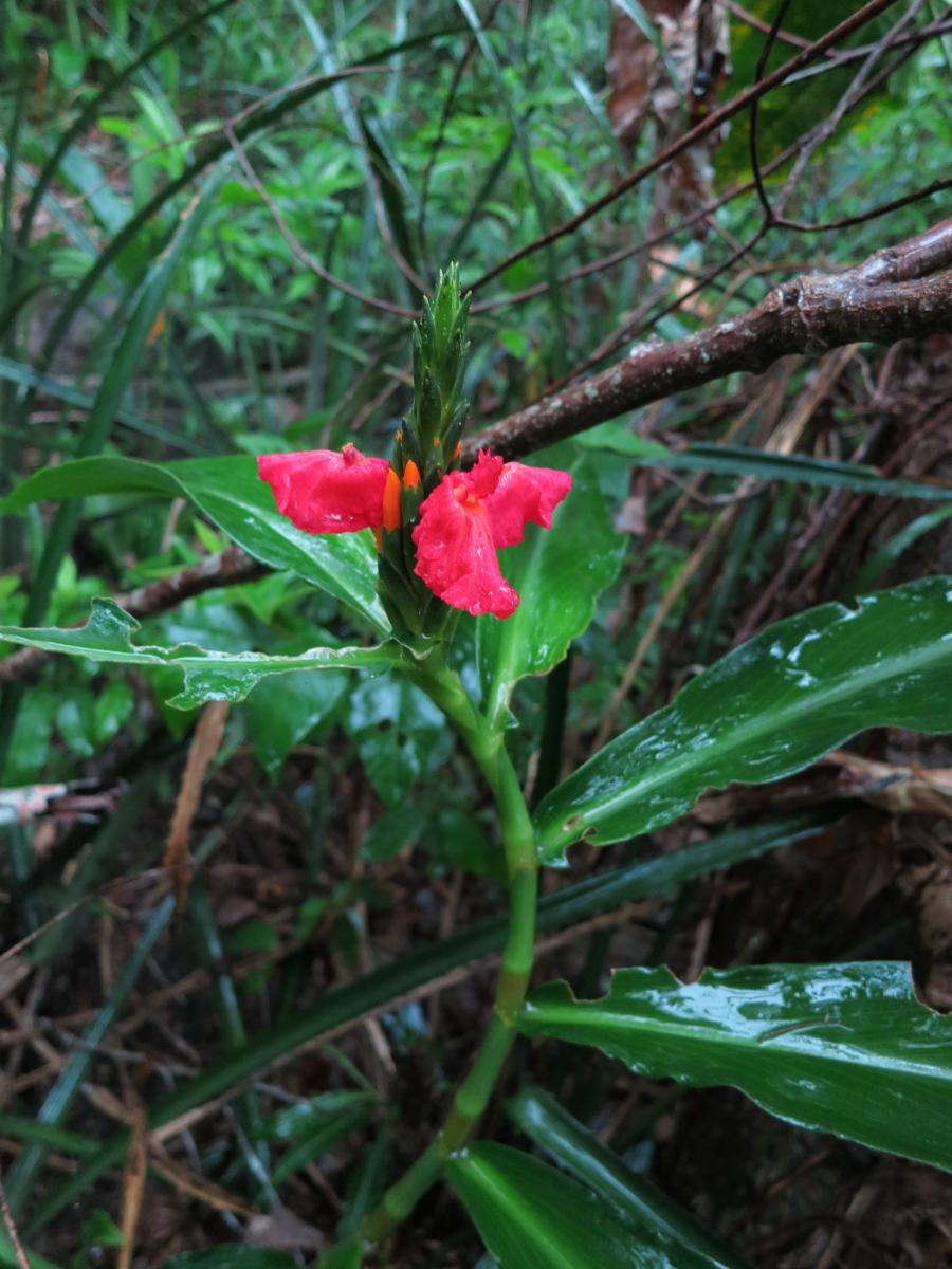 Photo# 13116 - Chamaecostus lanceolatus subsp lanceolatus