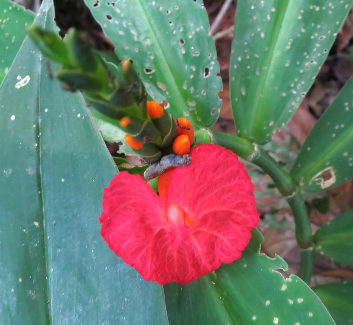 Photo# 13117 - Chamaecostus lanceolatus subsp lanceolatus