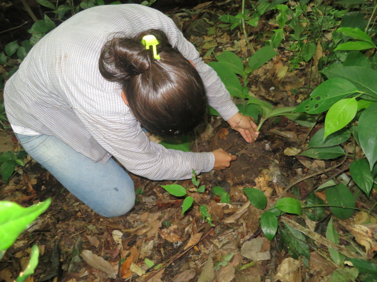 Photo# 13203 - Chamaecostus subsessilis at Alta Floresta study plot - Lais Alves Lage digging a plant to study the cellular structure of the root tubers.