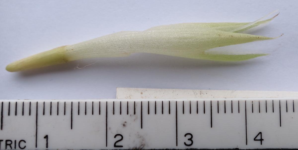 Photo# 13207 - Chamaecostus subsessilis in Brasilia calyx with very sharp, triangular lobes