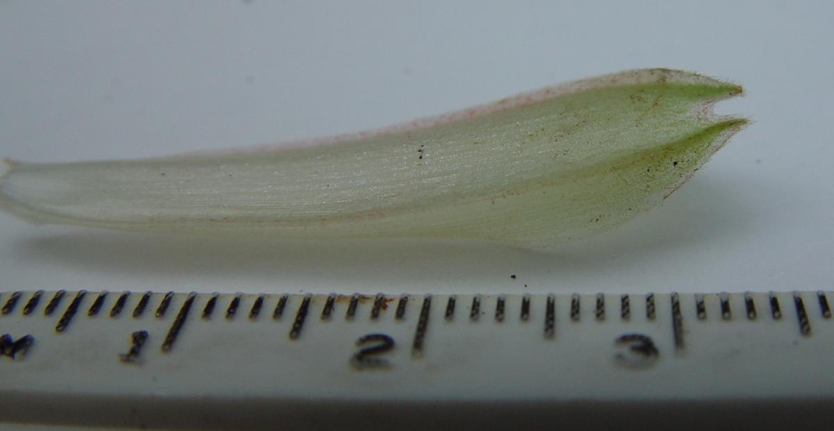 Photo# 13215 - Chamaecostus acaulis (was subsessilis) cultivated plant from Bolivia - bicarinate tubular bracteole