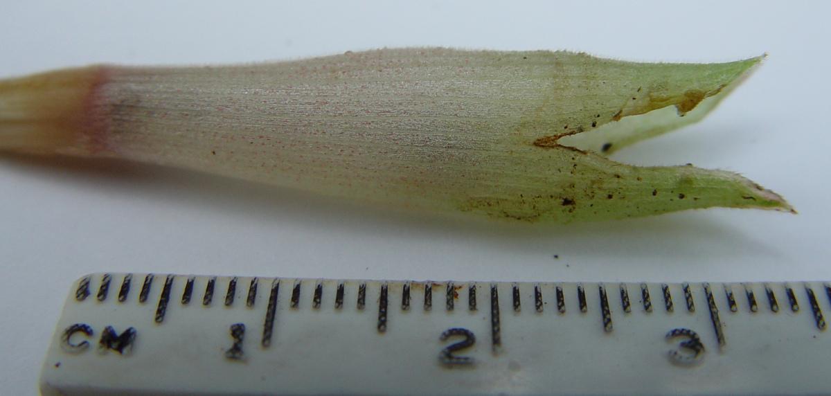 Photo# 13219 - Chamaecostus acaulis (was subsessilis) cultivated plant from Bolivia - calyx