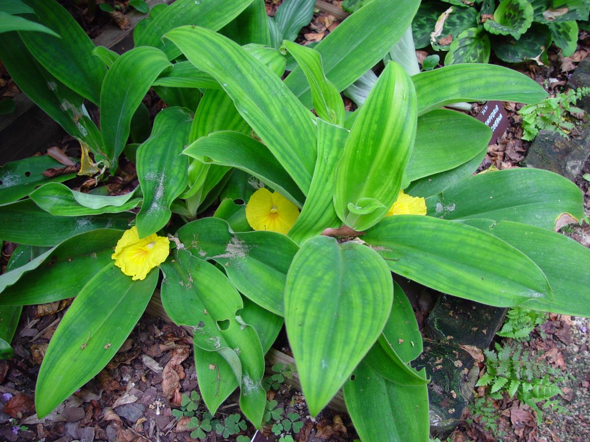 Photo# 13156 - Chamaecostus acaulis (was subsessilis) cultivated plant from Bolivia