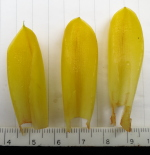 Chamaecostus fusiformis bracts - Click to see full sized image