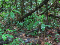 Chamaecostus fusiformis habitat, forest understory - Click to see full sized image