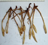 Chamaecostus acaulis (was subsessilis) cultivated plant from Bolivia - root system showing root tubers and small rhizomes - Click to see full sized image
