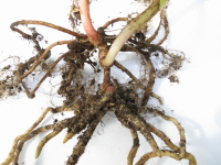 Chamaecostus acaulis (was subsessilis) cultivated plant from Bolivia - root system with intermittent shoot - Click to see full sized image
