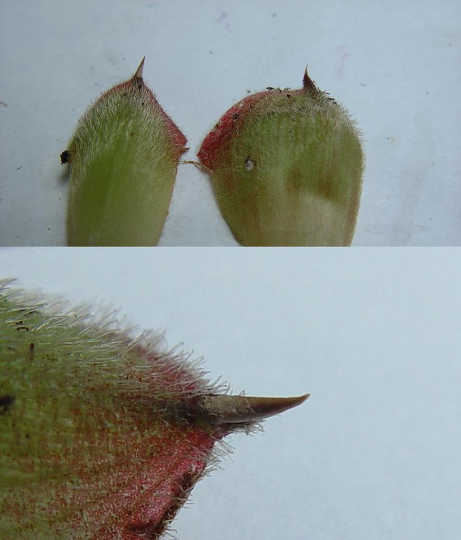 Photo# 13301 - Cheilocostus/Hellenia globosus 'Peach Cobbler'