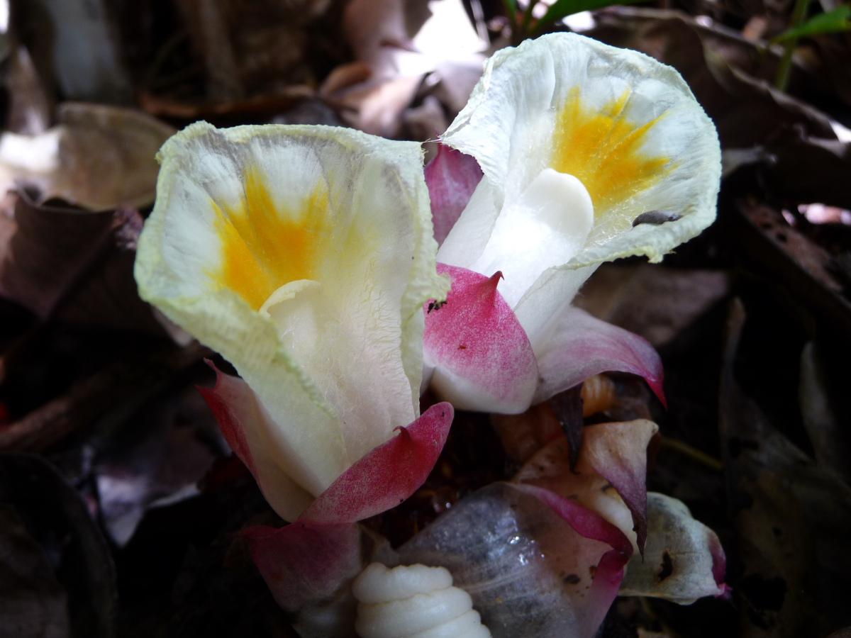 Photo# 13251 - Cheilocostus/Hellenia globosus white flower