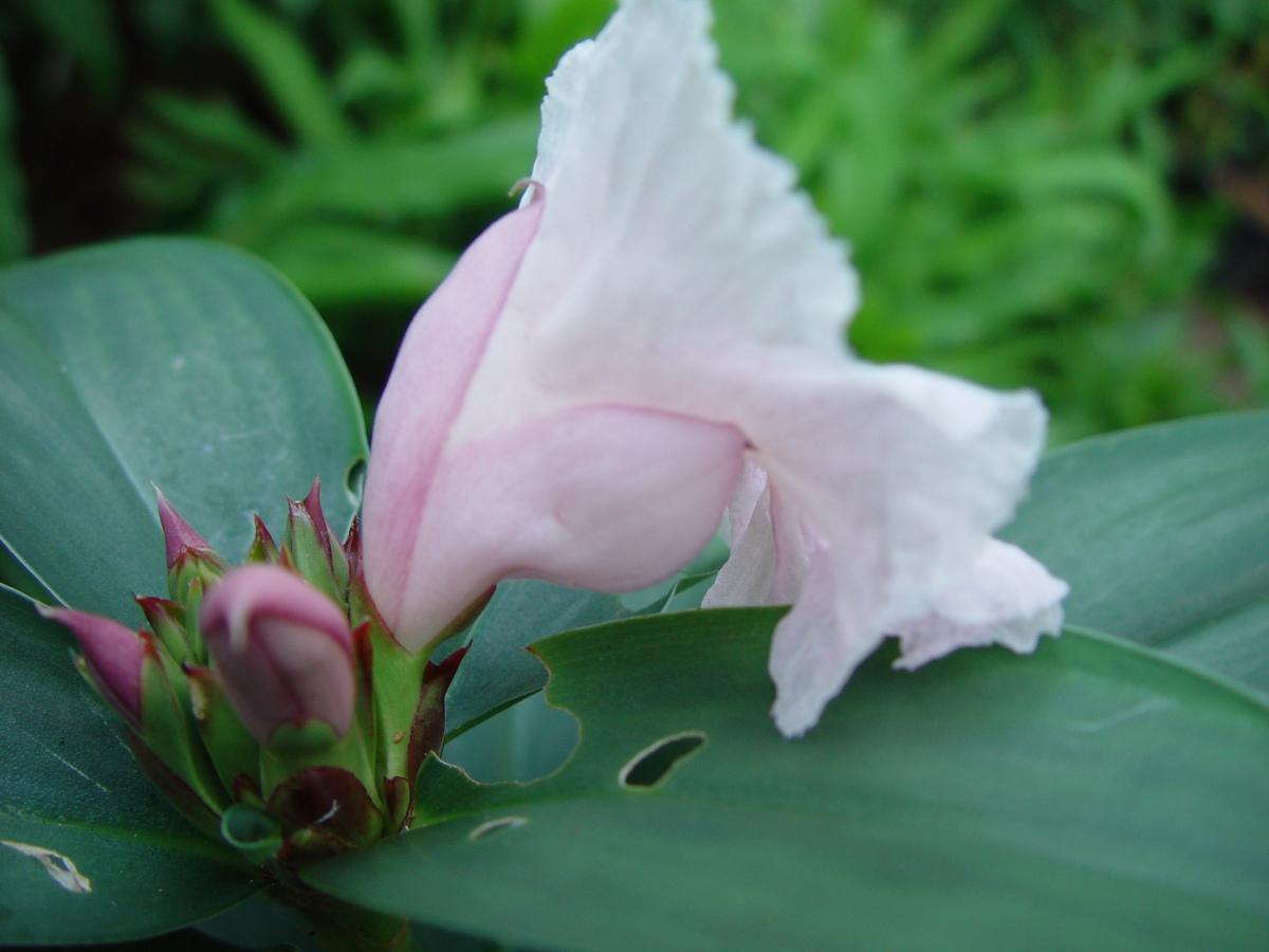 Photo# 13283 - Cheilocostus/Hellenia speciosa 'Javen Pink'