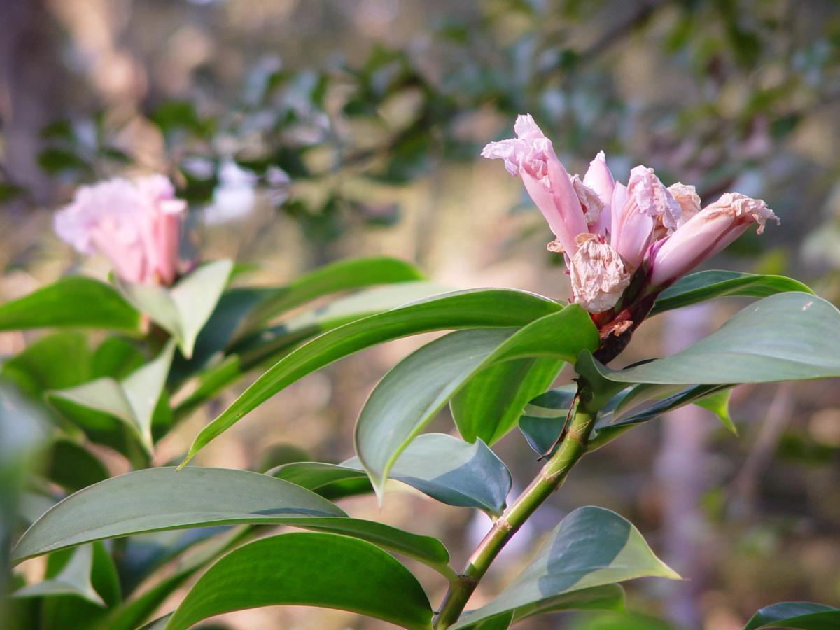 Photo# 13286 - Cheilocostus/Hellenia speciosa 'Javen Pink'