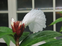 Cheilocostus/Hellenia lacerus Smithsonian #2001-073 - Click to see full sized image