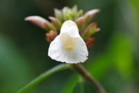 Cheilocostus/Hellenia speciosa Thailand form - Click to see full sized image