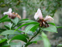 Cheilocostus/Hellenia speciosa 'Javen Pink' - Click to see full sized image