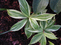 Cheilocostus/Hellenia speciosa variegated form - Click to see full sized image
