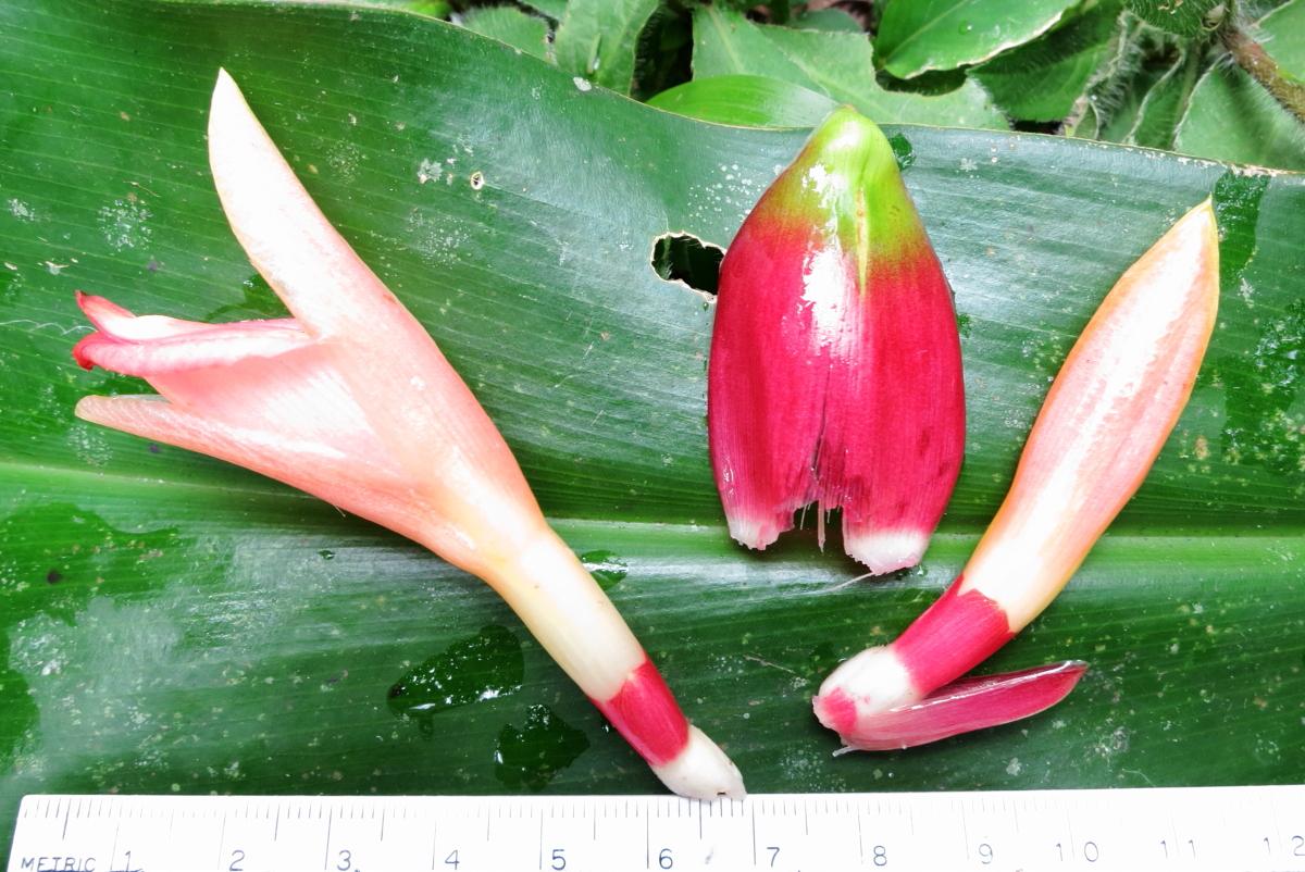 Photo# 15428 - Costus aff.claviger 'Manu Form' -  flower, bract, calyx and bracteole