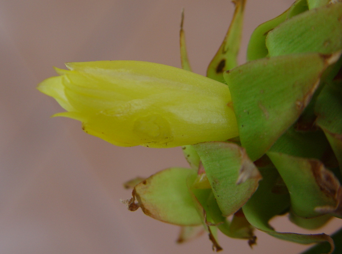 Photo# 15094 - Costus comosus 'Cliff Dweller'- flower