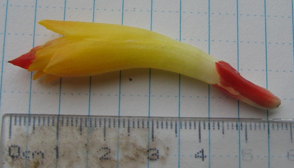 Photo# 15117 - Costus aff. curvibracteatus form from Pocosol, Costa Rica