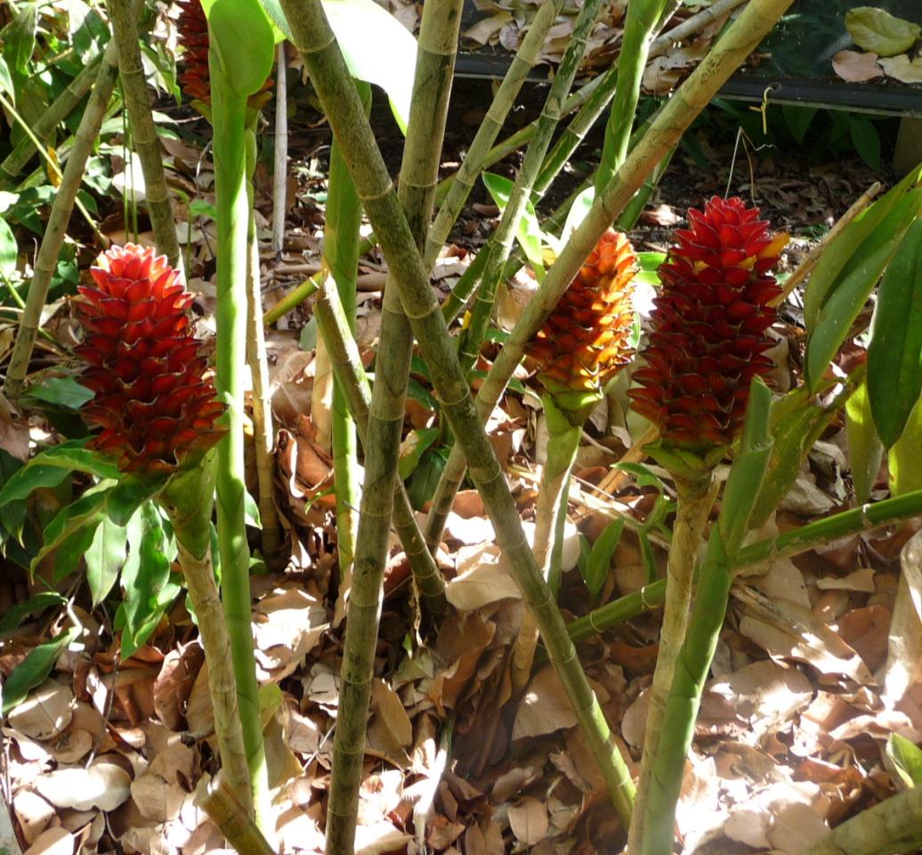 Photo# 15127 - Costus sp. nov. aff. curvibracteatus basal flowering form from Costa Rica