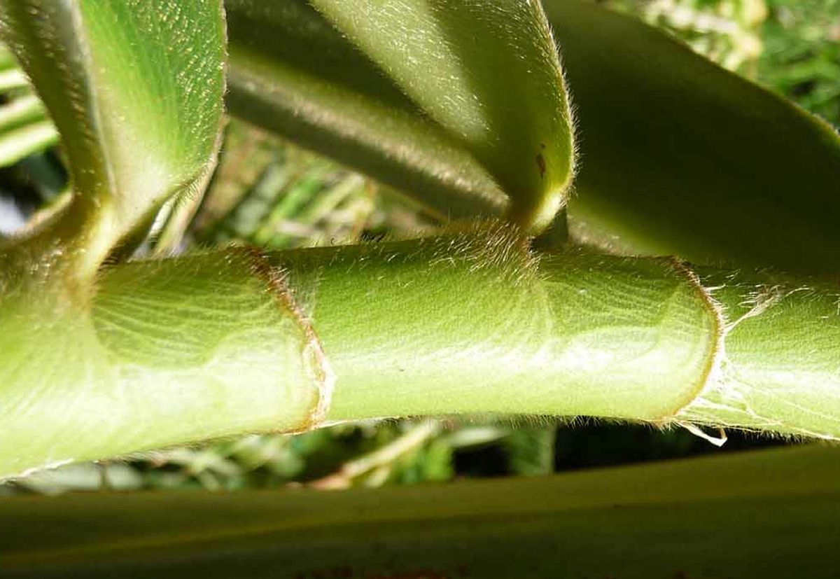 Photo# 15130 - Costus sp. nov. aff. curvibracteatus basal flowering form from Costa Rica
