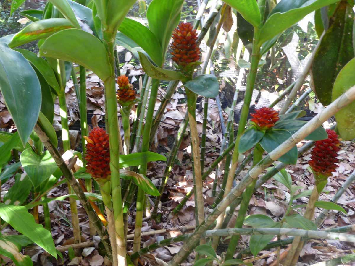 Photo# 15131 - Costus sp. nov. aff. curvibracteatus basal flowering form from Costa Rica