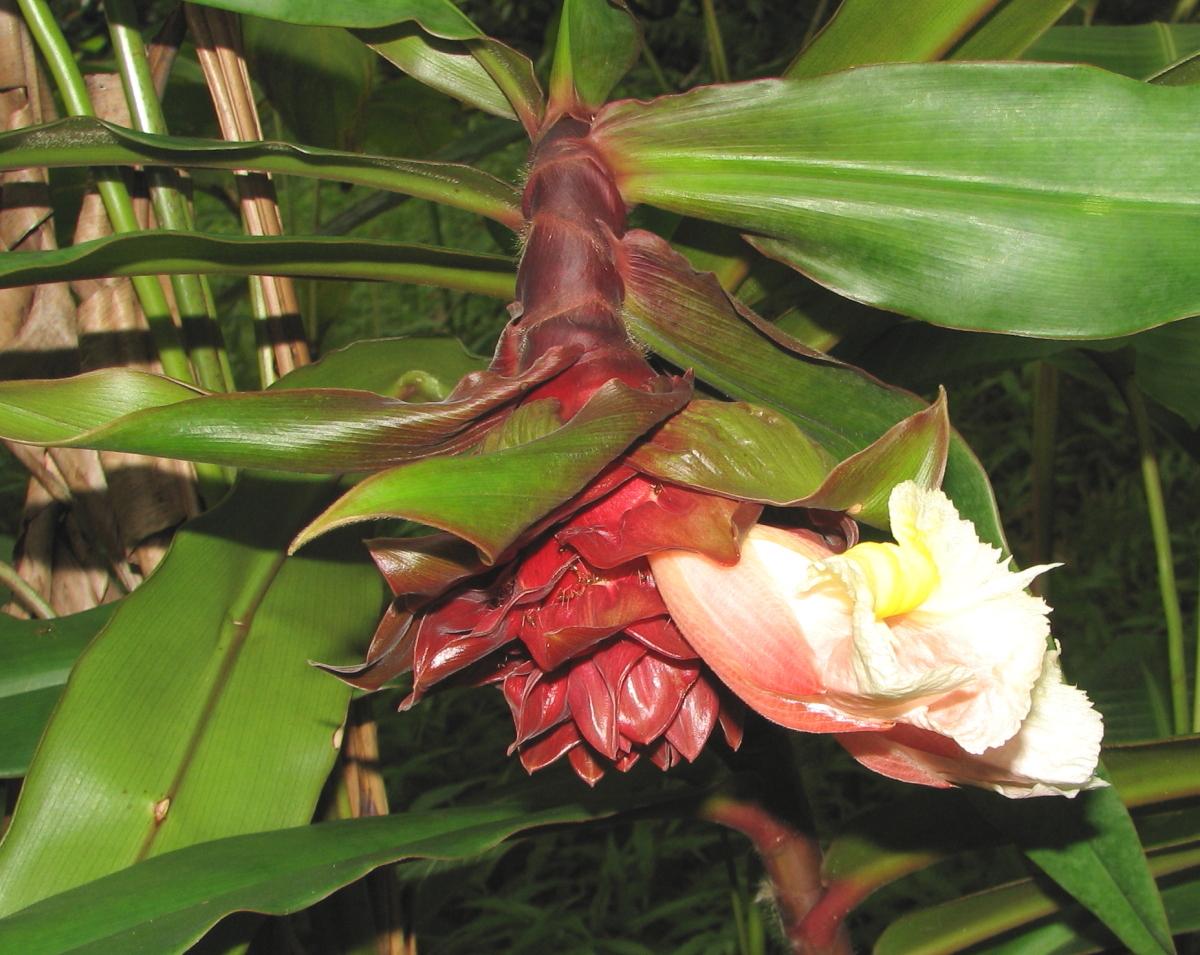 Photo# 15519 - Costus asplundii at Lyon Arboretum, Hawaii