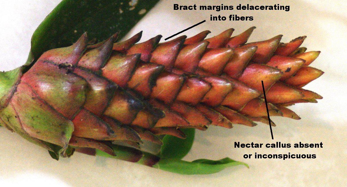 Photo# 15529 - Costus barbatus - nectar callus is absent, unusual in Costus