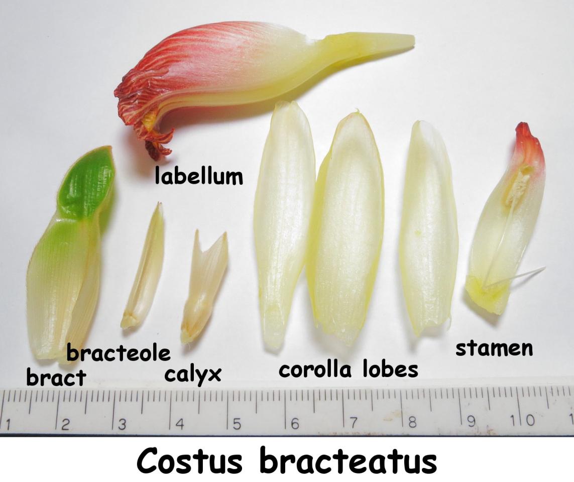 Photo# 15249 - Costus bracteatus flower parts