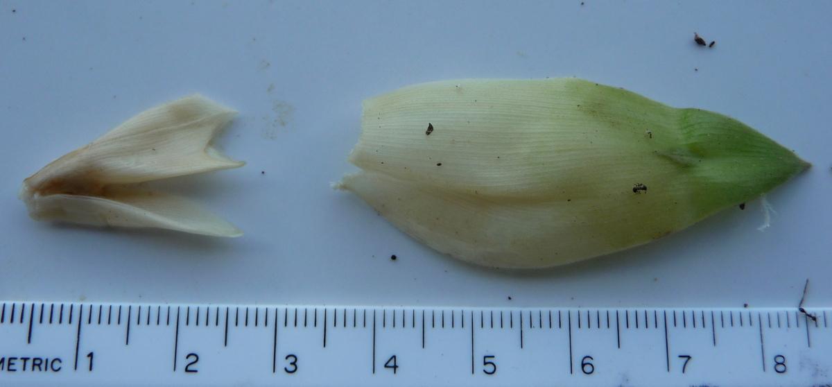 Photo# 15258 - Costus bracteatus Rio Bonyic, Panama - calyx and bracteole, bract