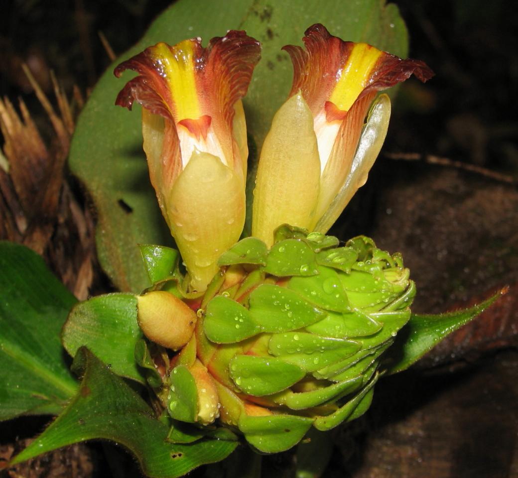 Photo# 15265 - Costus bracteatus from Cerro Mirador, Shiroles, Costa Rica