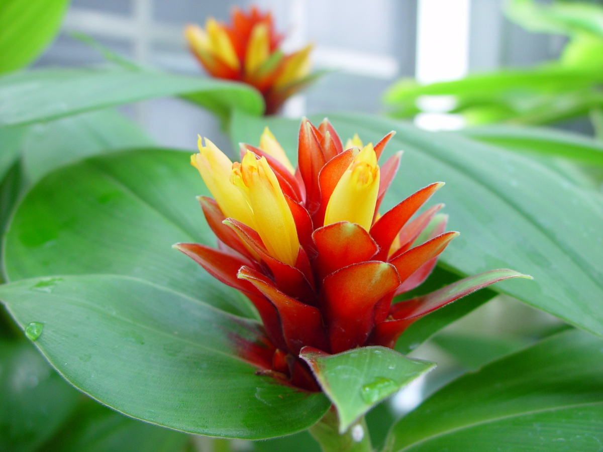 Photo# 15306 - Costus  'Firebird' -