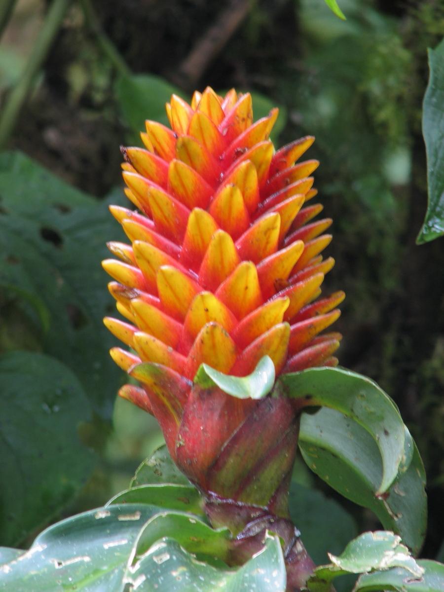 Photo# 15335 - Costus curvibracteatus - Rio Purisil, Costa Rica