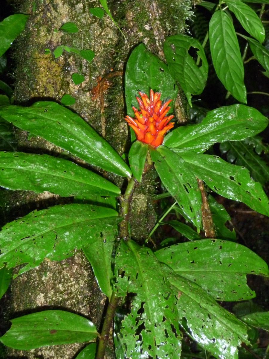 Photo# 15337 - Costus curvibracteatus - Cerro Gaital Panama