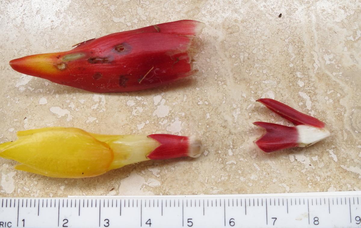 Photo# 15349 - Costus curvibracteatus flower parts - Cerro Gaital, Panama