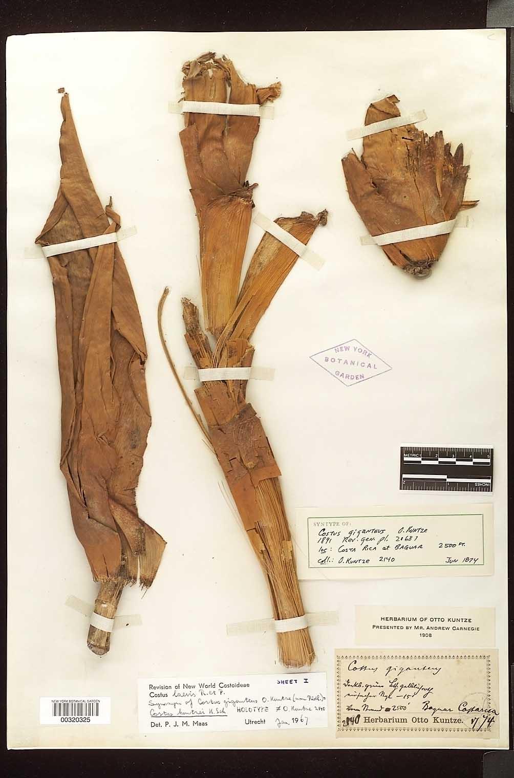 Photo# 17973 - Herbarium sheet 1, Costus gigantea syntype at NYBG