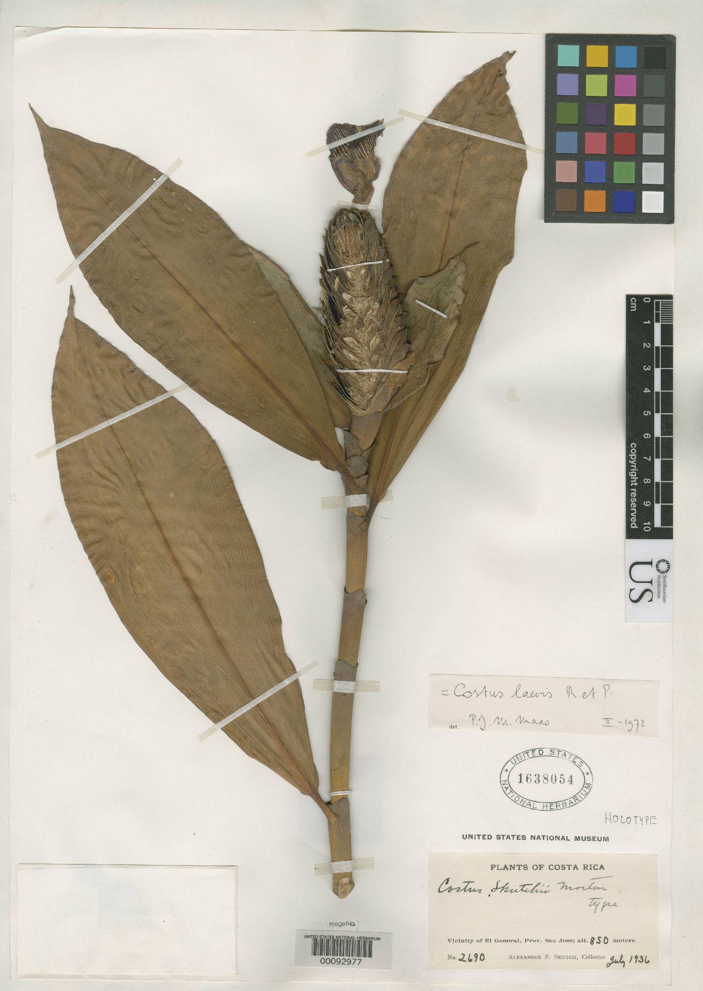 Photo# 17977 - Herbarium sheet, Costus skutchii at USNH