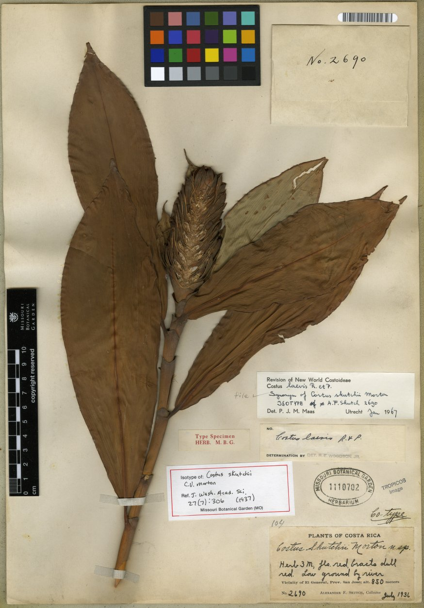 Photo# 17978 - Herbarium sheet, Costus skutchii at MoBot