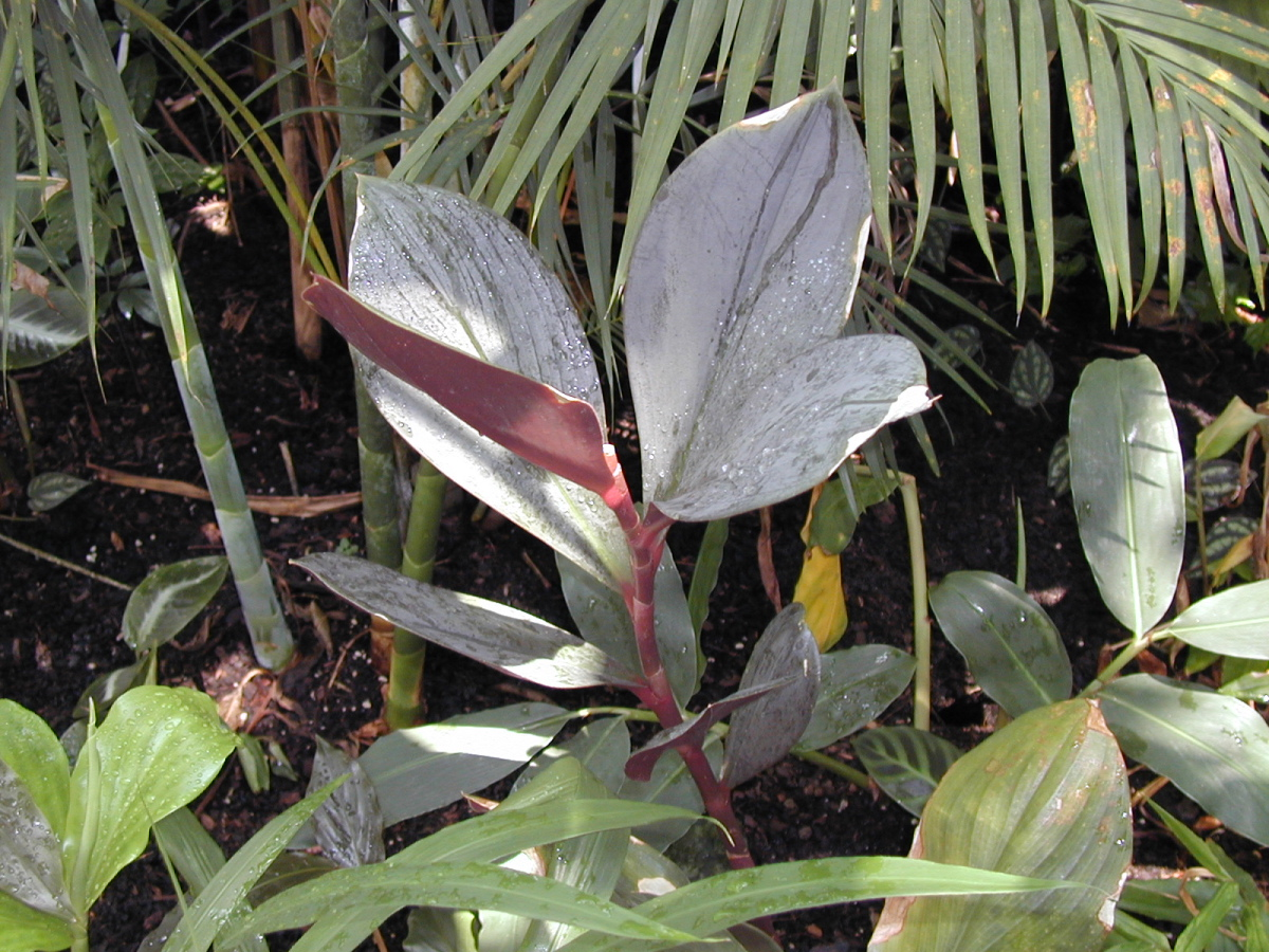 Photo# 15393 - Costus tagged as C. atrosanguineus at Atlanta Botanical Gardens