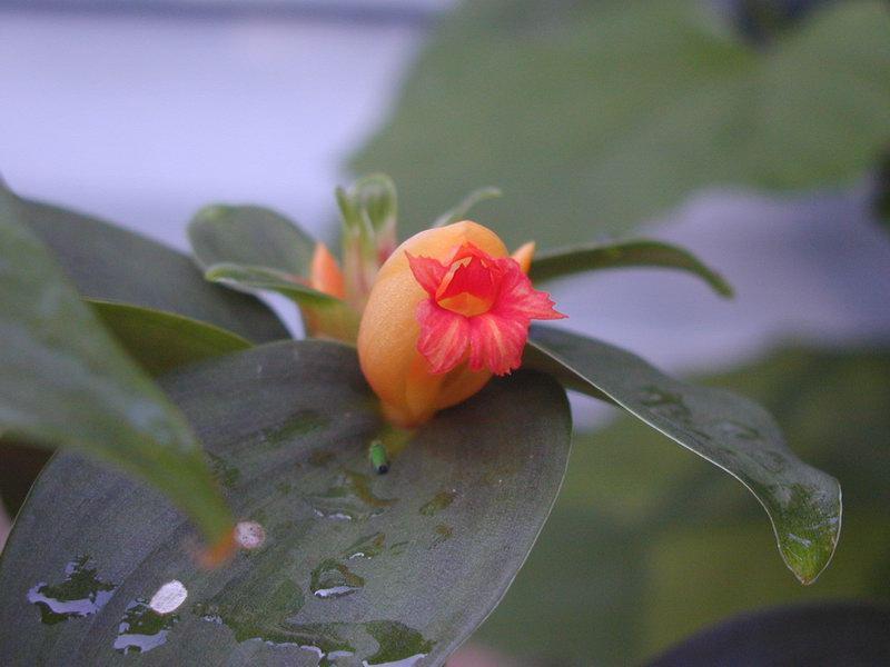 Photo# 11488 - Costus hybrid 'Green Mountain'  flower