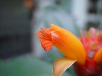 Costus hybrid 'Green Mountain'  flower - Click to see full sized image