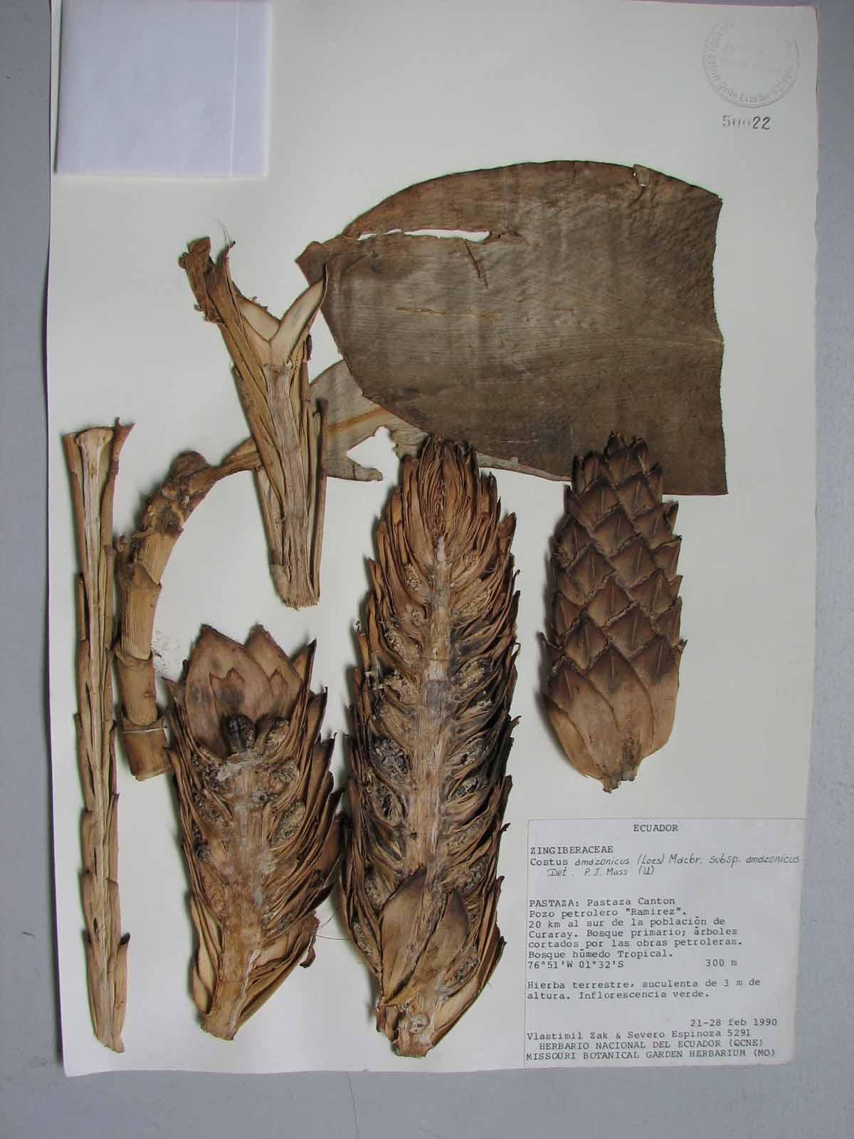 Photo# 17524 - Costus amazonicus subsp. amazonicus, at the National Herbarium in Quito, collected in Ecuador, Pastaza.