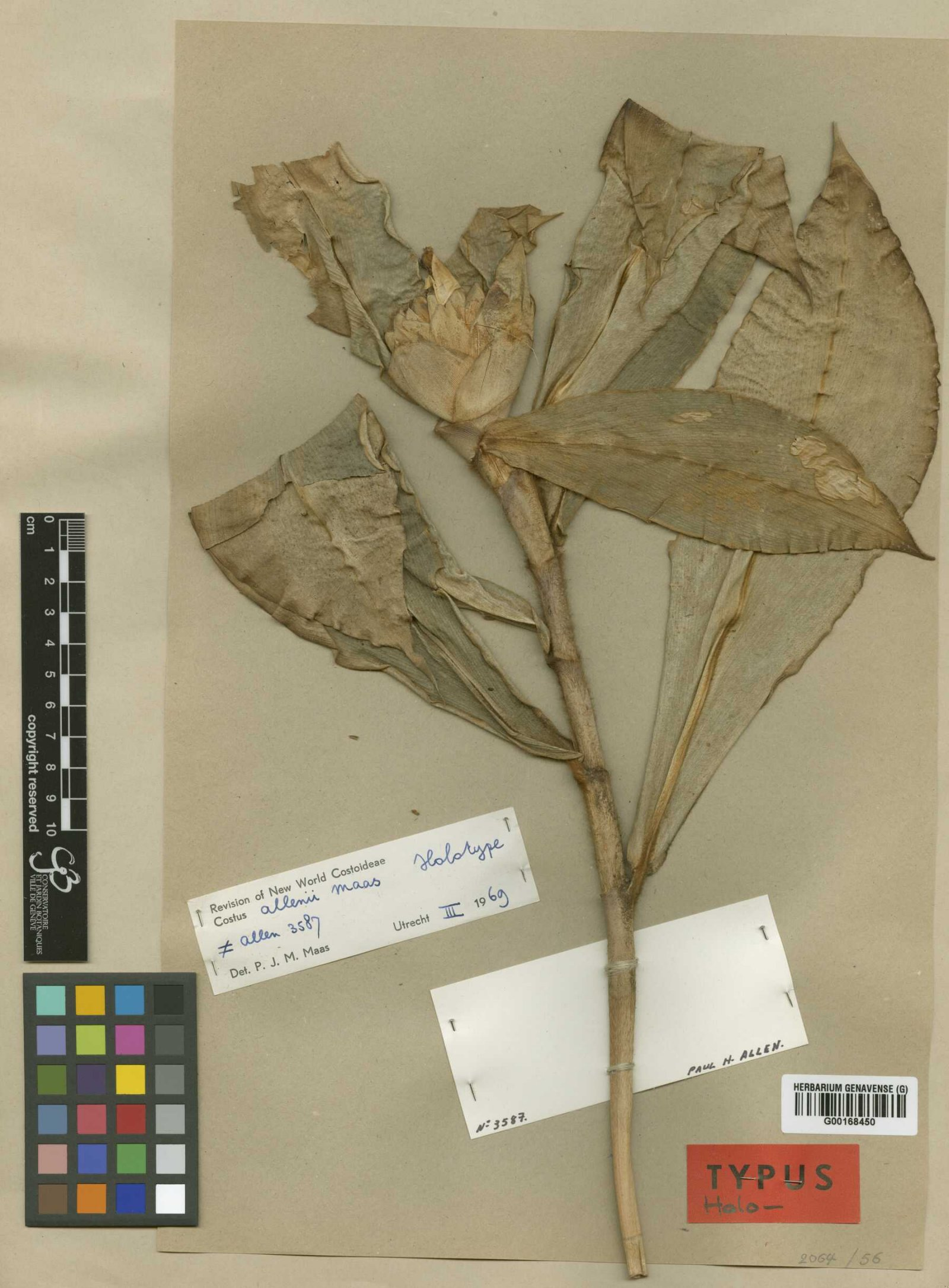 Photo# 17526 - Costus allenii holotype collected by P. H. Allen near the Panama Canal.